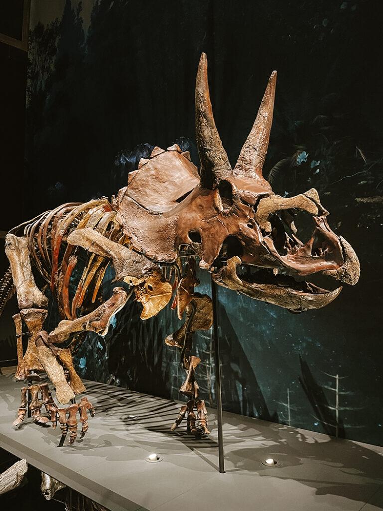 Triceratops in Naturalis